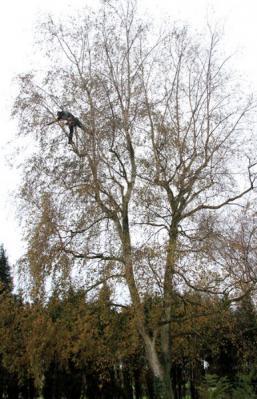 Elagueur grimpeur à Courcelles, Charleroi...